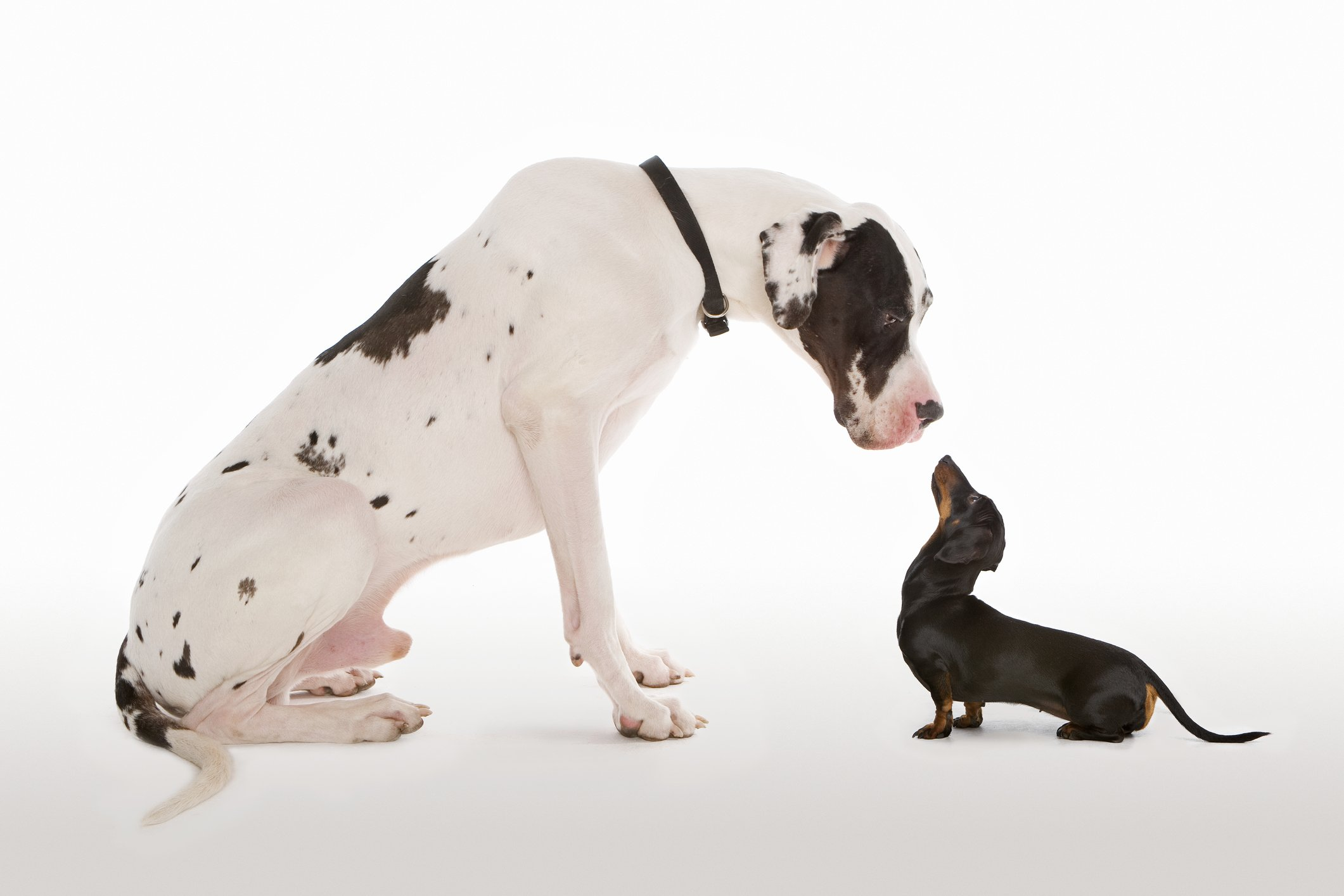 Harlequin Great Dane and Miniature Dachshund sitting face to face in studio - large format posters