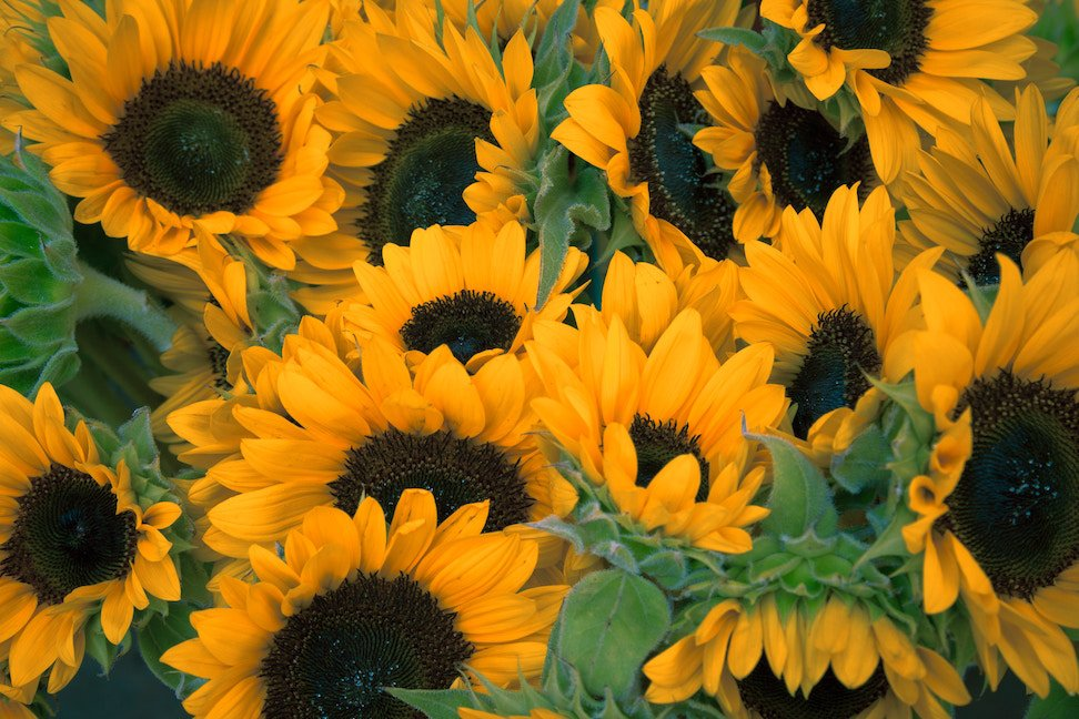 Sunflowers - Environmentally friendly